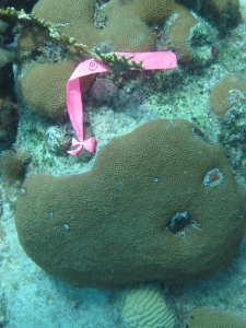 A Siderastrea siderea coral marked for coring
