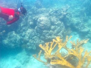 Jessica and a healthy Acropora palmata coral (also endangered)