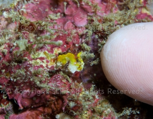 Pontohi pygmy seahorse, with Simon's index finger for scale