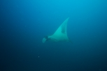 An oceanic manta passed by during a safety stop.