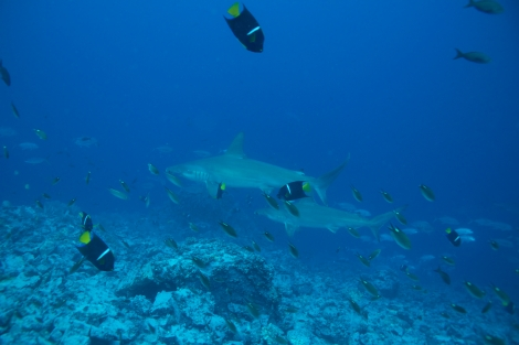 Hammerheads would sometimes approach in small groups.