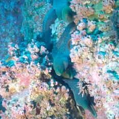 More moray eels