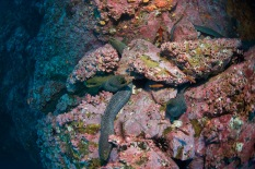 Moray eels abound at Malpelo
