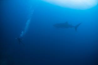 Lauren chasing an enormous whaleshark
