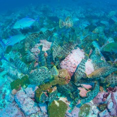 Morays, leather bass and bluefin trevally work together